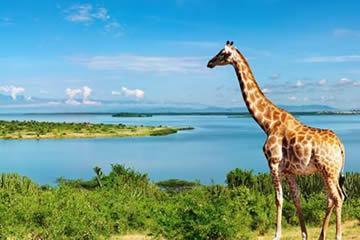 Giraffes-Uganda
