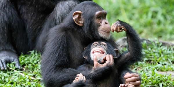 Chimpanzees uganda