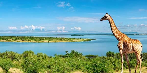 Giraffes Uganda